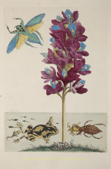 Waterscorpion, frogs and waterbeetle by Maria Sibylla Merian