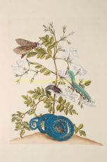 Jasmine, copper engraving made after a drawing by Maria Sibylla Merian by Merian, Maria Sibylla