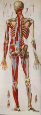 Skelet met spierstelsel, anonieme kopergravure vervaardigd rond 1820 by Anonymous
