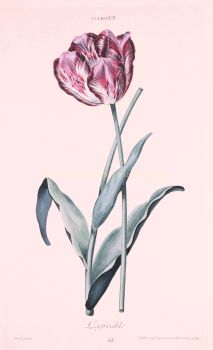 Tulip  by  Adam Ludwig Wirsing for Christoph Jakob Trew
