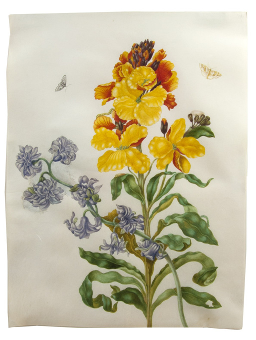 Flower watercolour with moths, larvae and pupae, by the daughter of Maria Sibylla Merian by Johanna Helena Herolt
