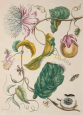 Passion fruit, copper engraving  by Merian, Maria Sibylla