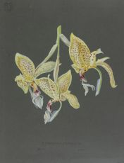 Set of 67 stunning colour orchid drawings from Petschkau (Pecky) castle in Bohemia
