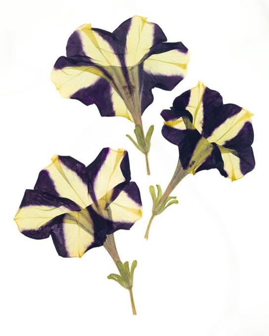 Petunia x hybrida 'Phantom' by Ron van Dongen