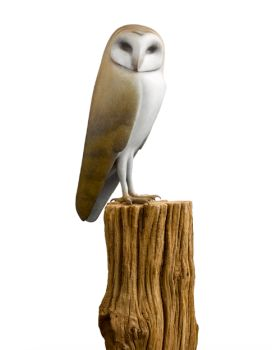 Kerkuil (barn owl) by Mark Dedrie
