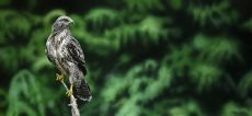 Buteo buteo, king of the forest by Walter Elst