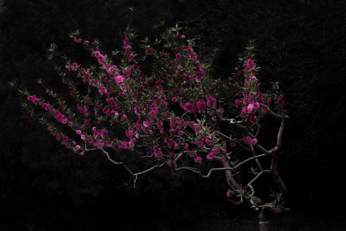 Peach Tree by Shen Wei