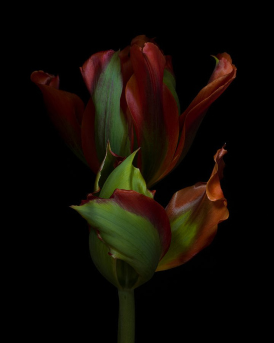 Tulipa Pimpernel by Ron van Dongen