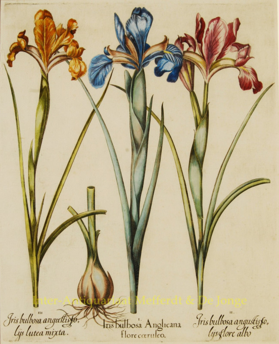 IRISSES FROM BASILIUS BESLER'S FLORILEGIUM   by Besler, Basilius