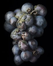 Noble Rot 8 by Peter Lippmann