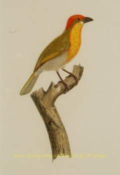 Tropical birds, antique prints  by  Audebert and Viellot